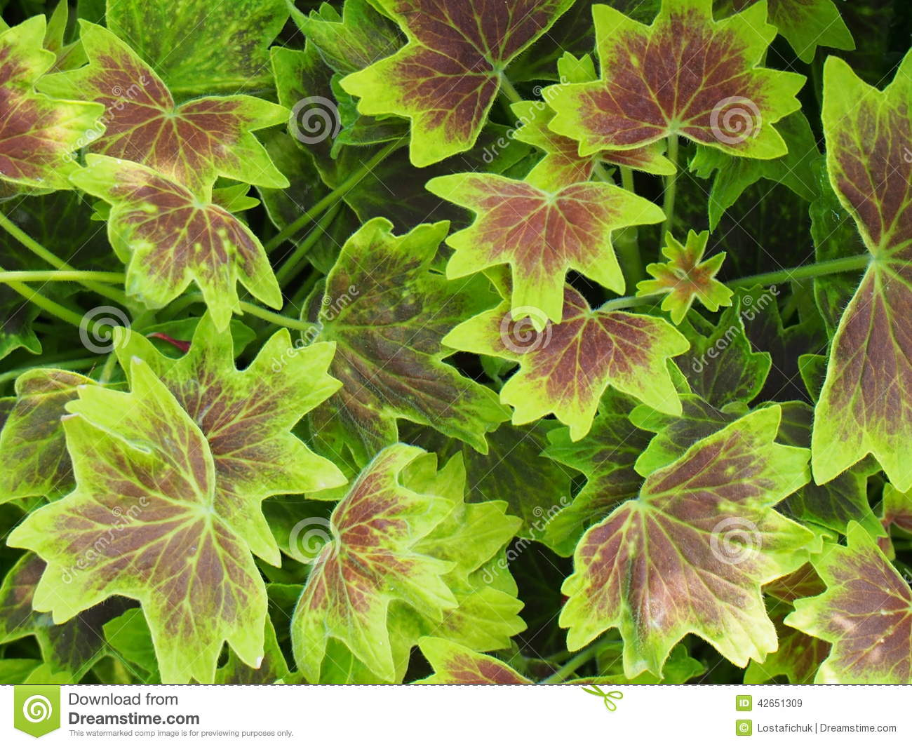 Burgundy And Lime Green Geranium Leaves Background Stock