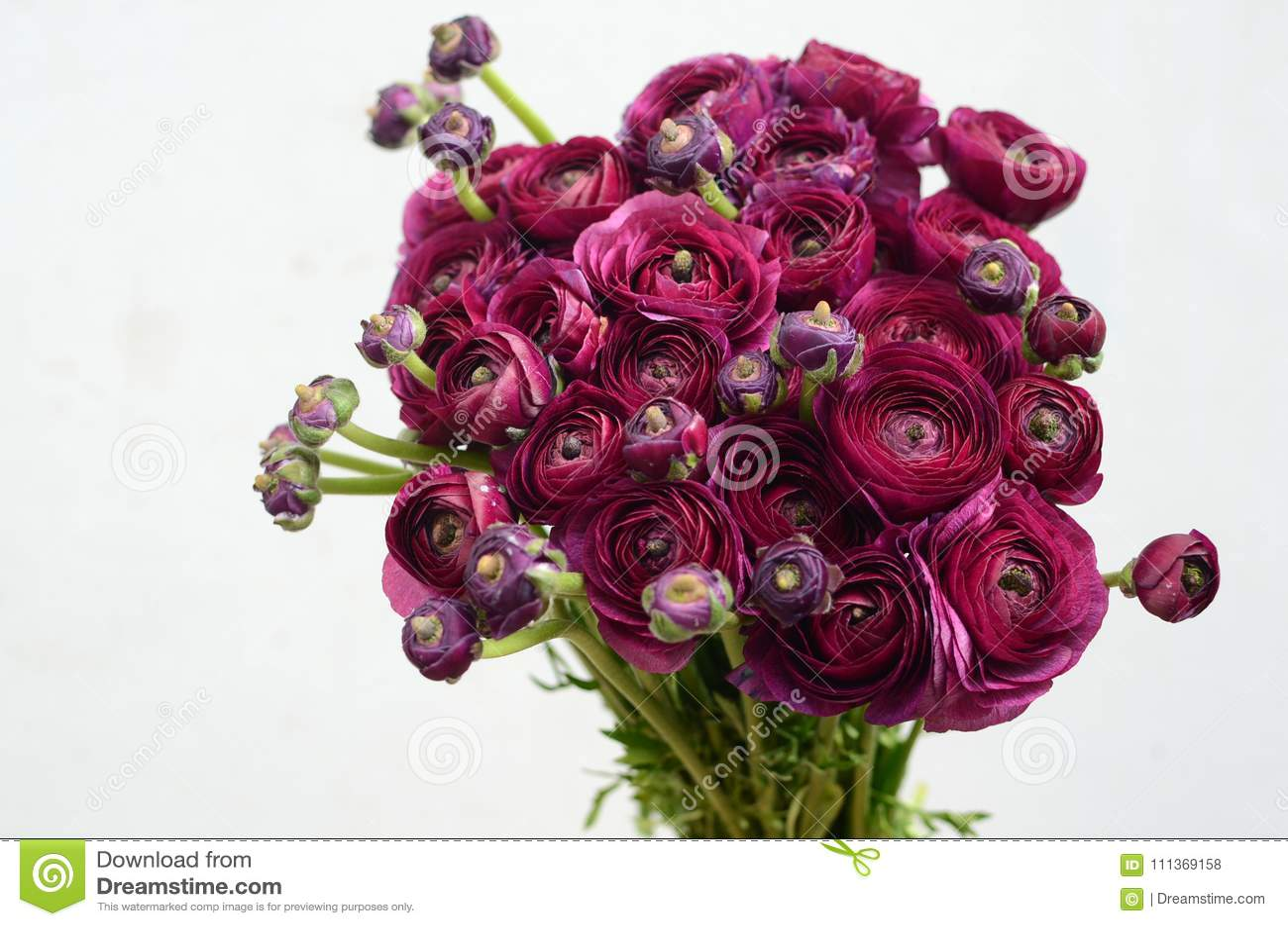 Burgundy Peony λουλούδι στο άσπρο υπόβαθρο