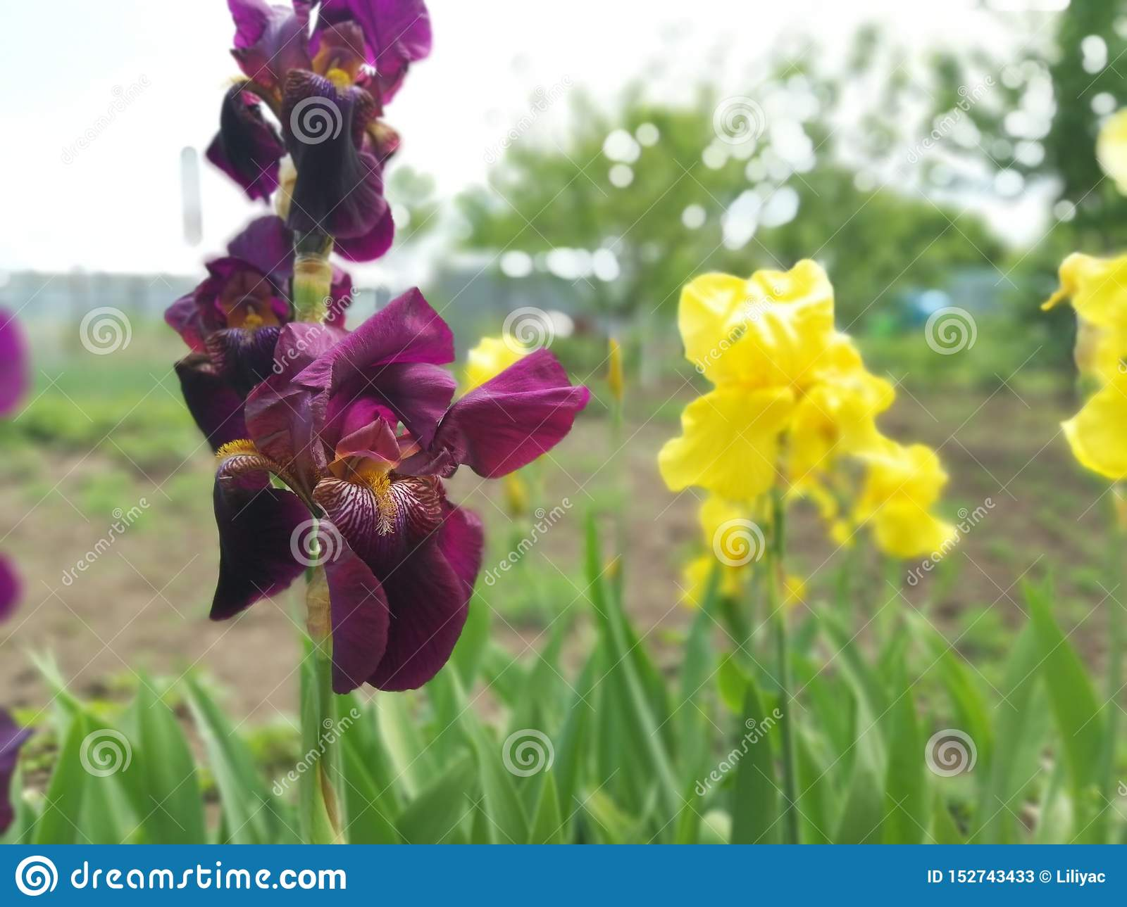 Burgundy and yellow irises in a flower bed