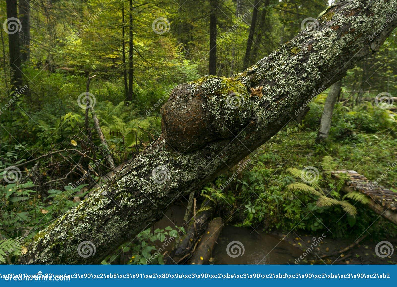 Burl no tronco de uma árvore