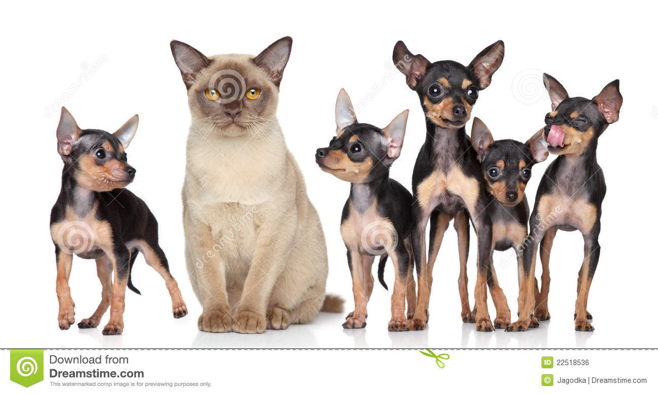 Group Toy Dogs : Burma cat with group toy terriers dogs stock photo image