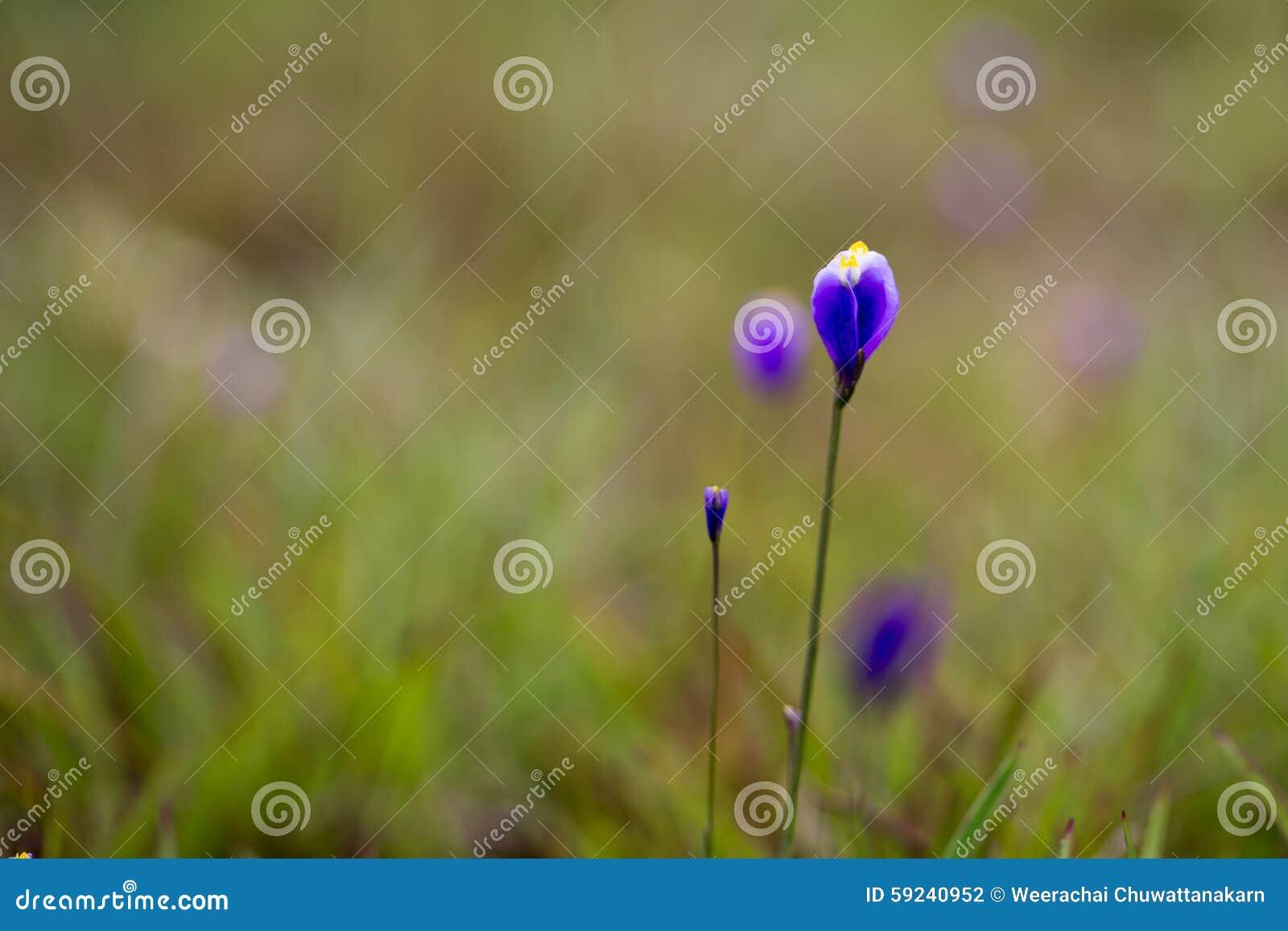 Download Burmania Coelestris D Flor De Don En Macro Foto de archivo - Imagen de paisaje, floral: 59240952