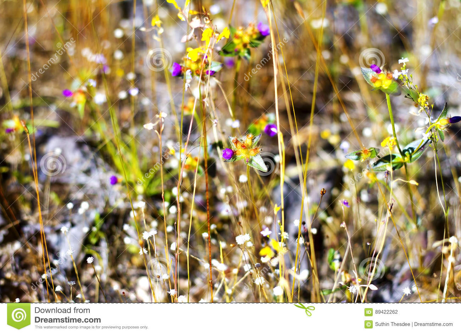 Burmania-coelestris mit trockenem Gras