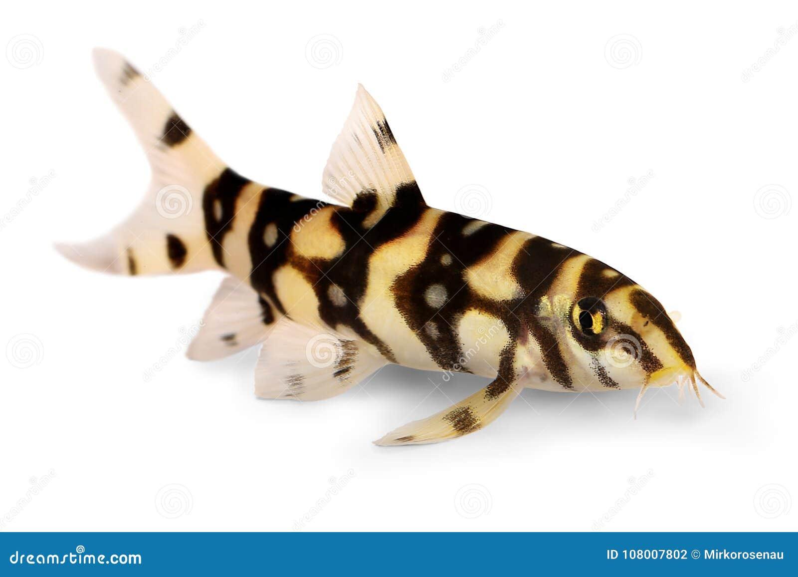 Burmese border loach catfish polka dot loach Botia kubotai aquarium fish