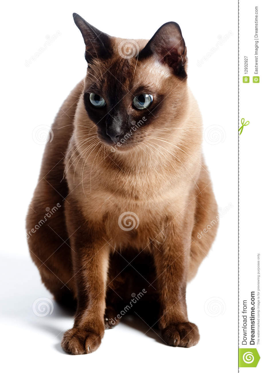 Burmese Cat stock image Image of studio animal burmese