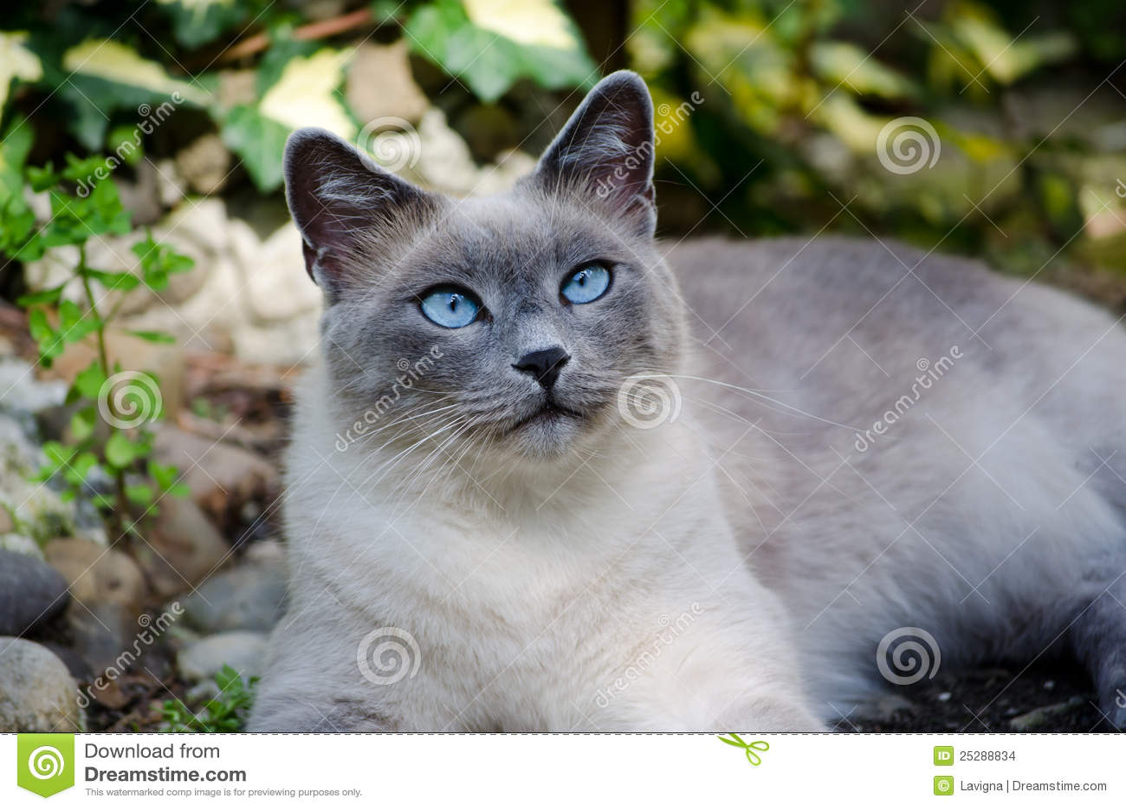 Burmese Cat Stock Photo Image Of Gray Toil Feline