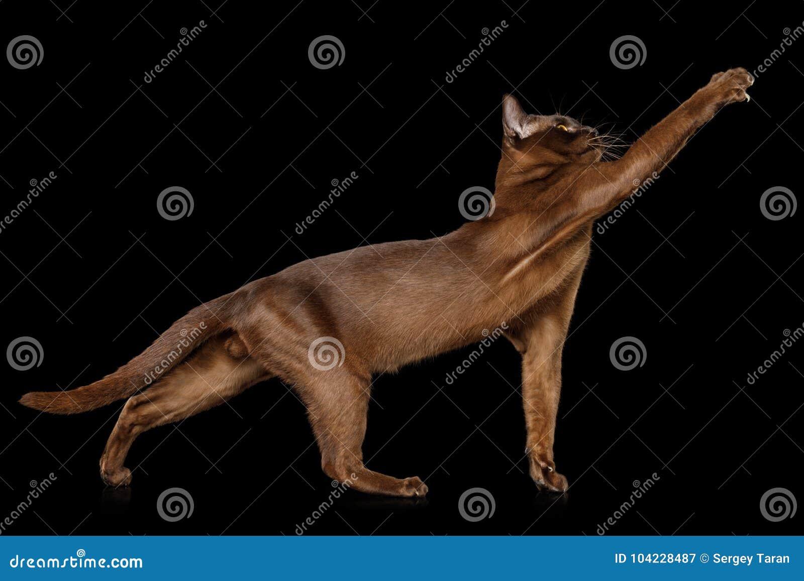 Burmese Cat isolated on black background