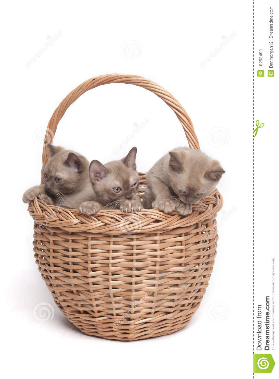 Burmese cats in big basket