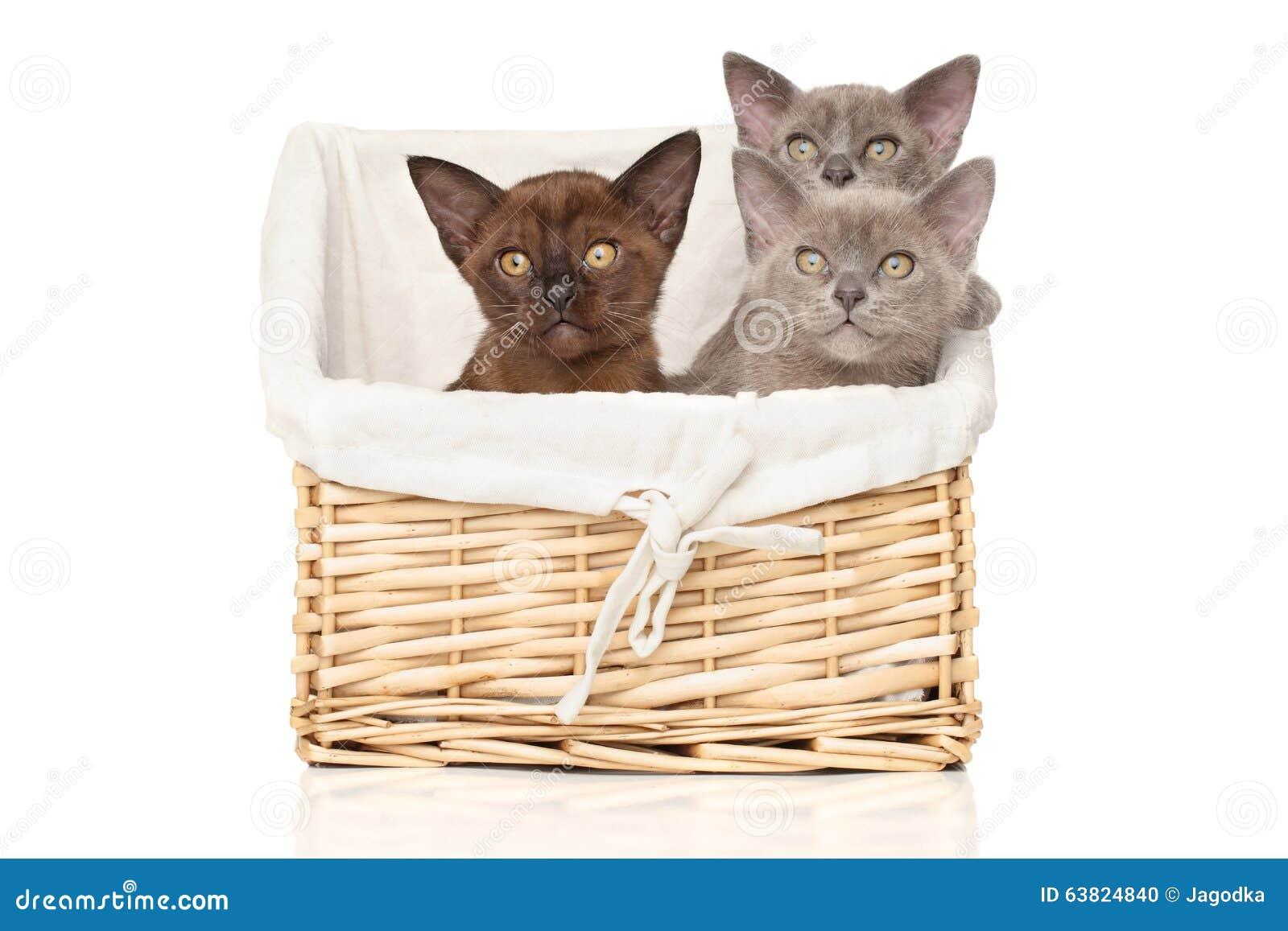 Burmese kittens on a white background
