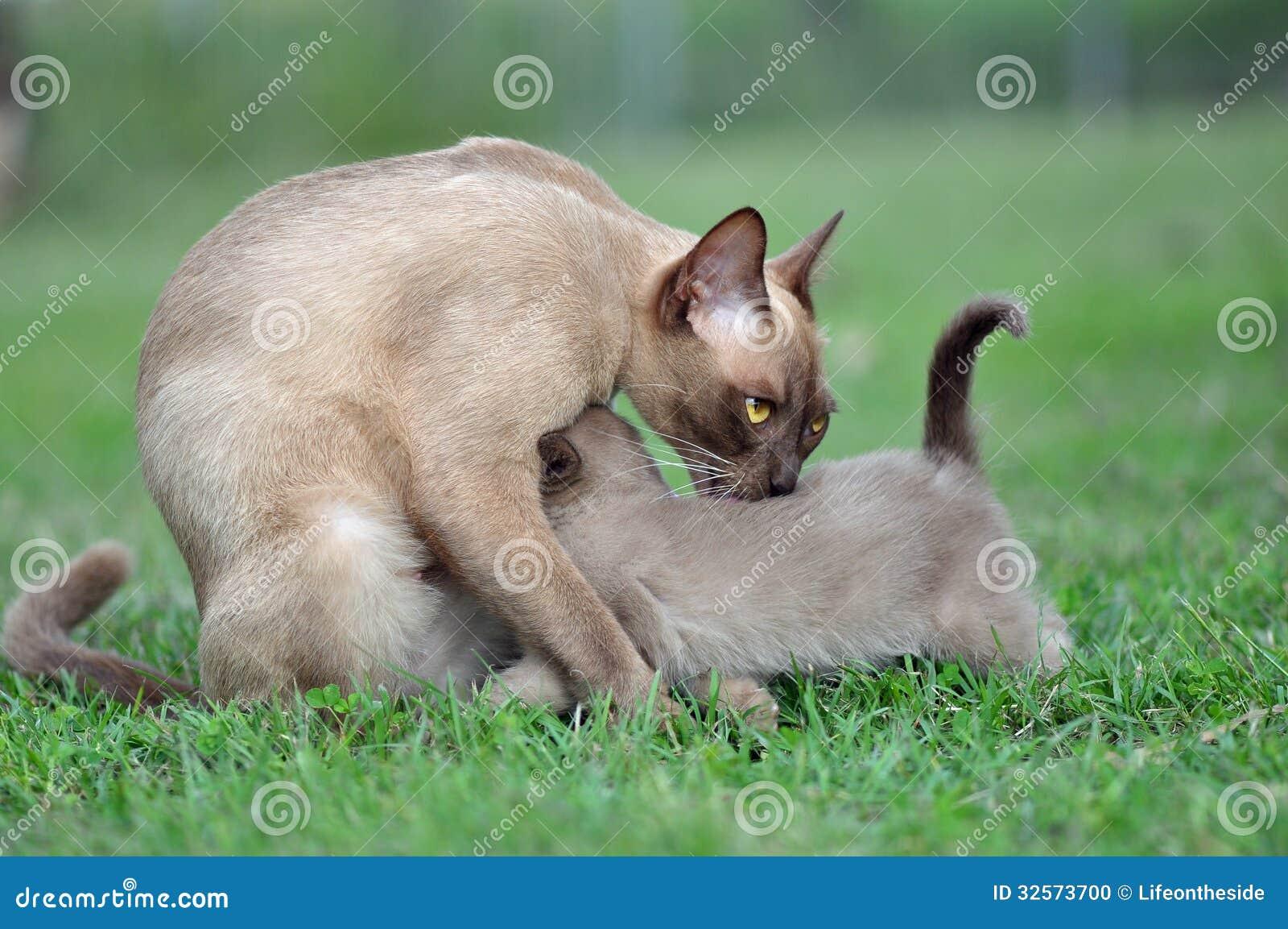 Burmese mother kitten protecting her baby kitten