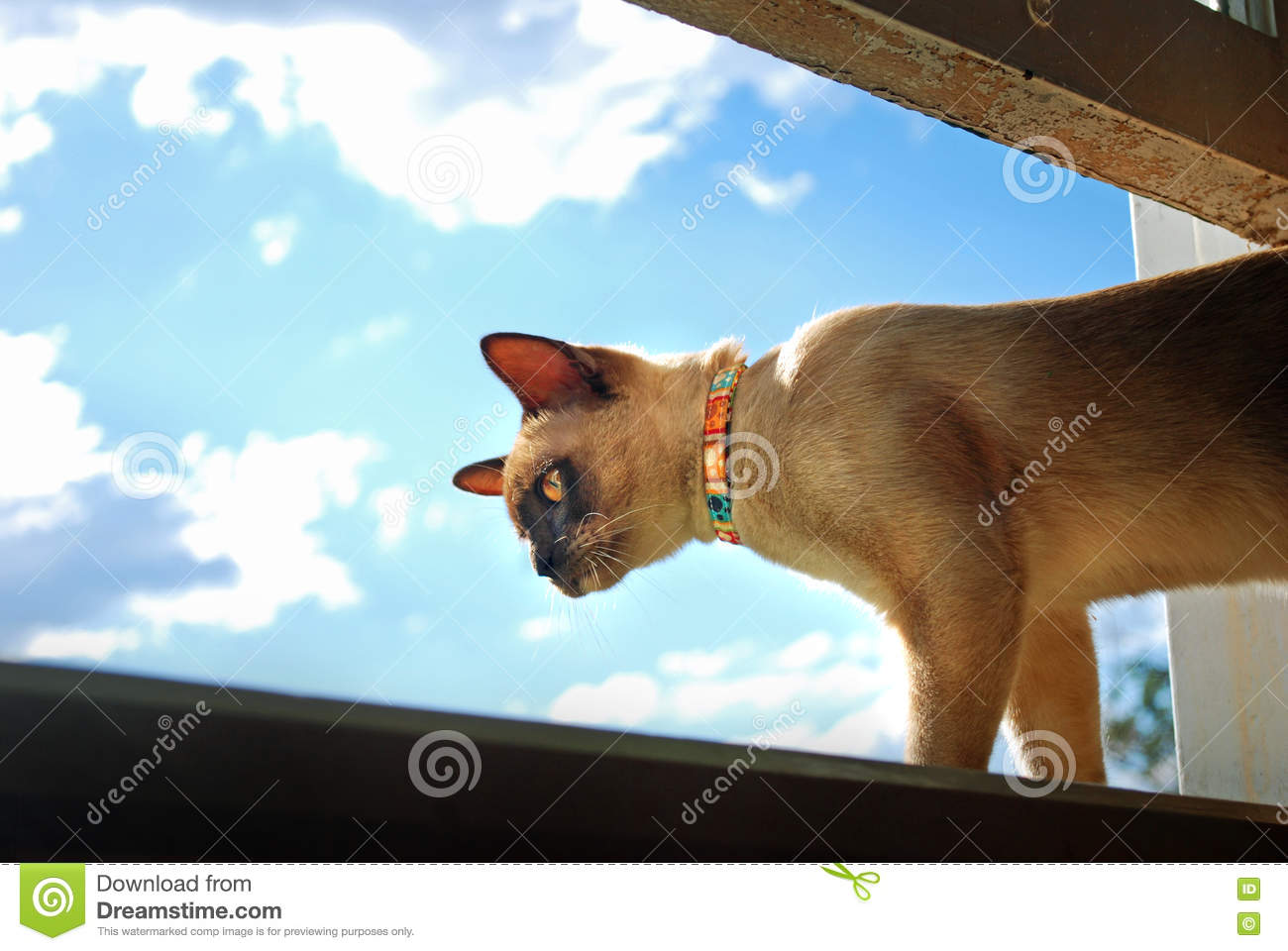 Burmese pet cat climbing and looking out of home window