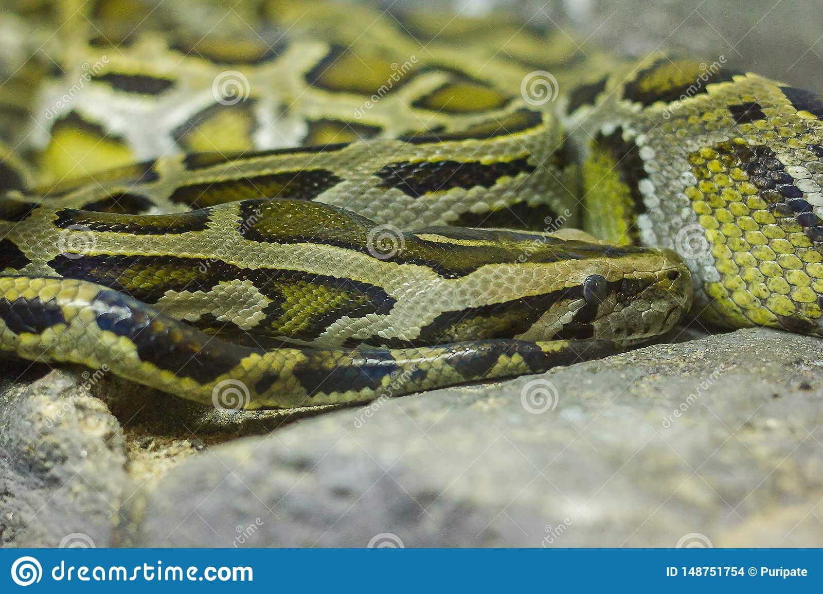 Burmese python curled up on the rock.