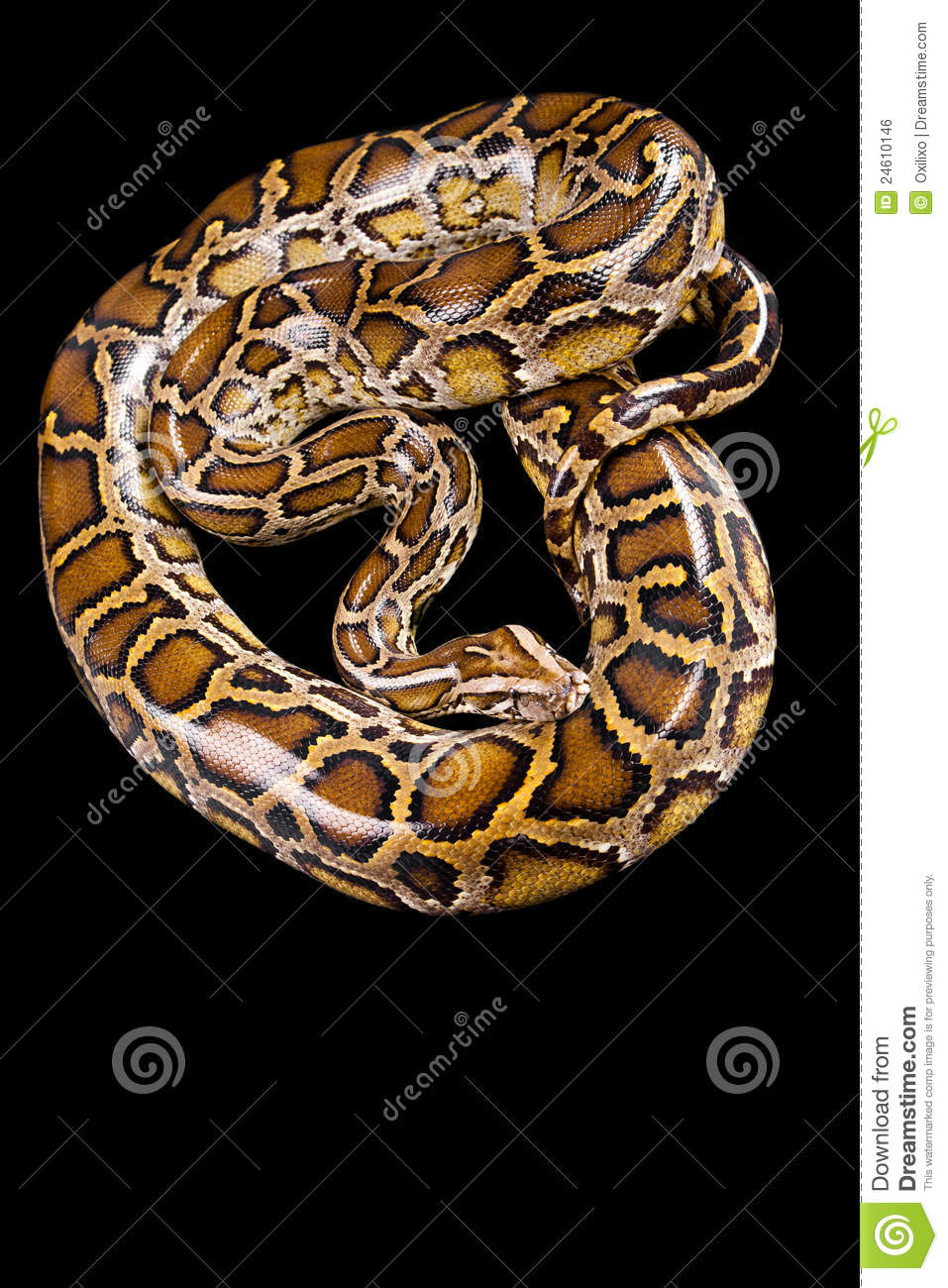 Burmese python isolated on black