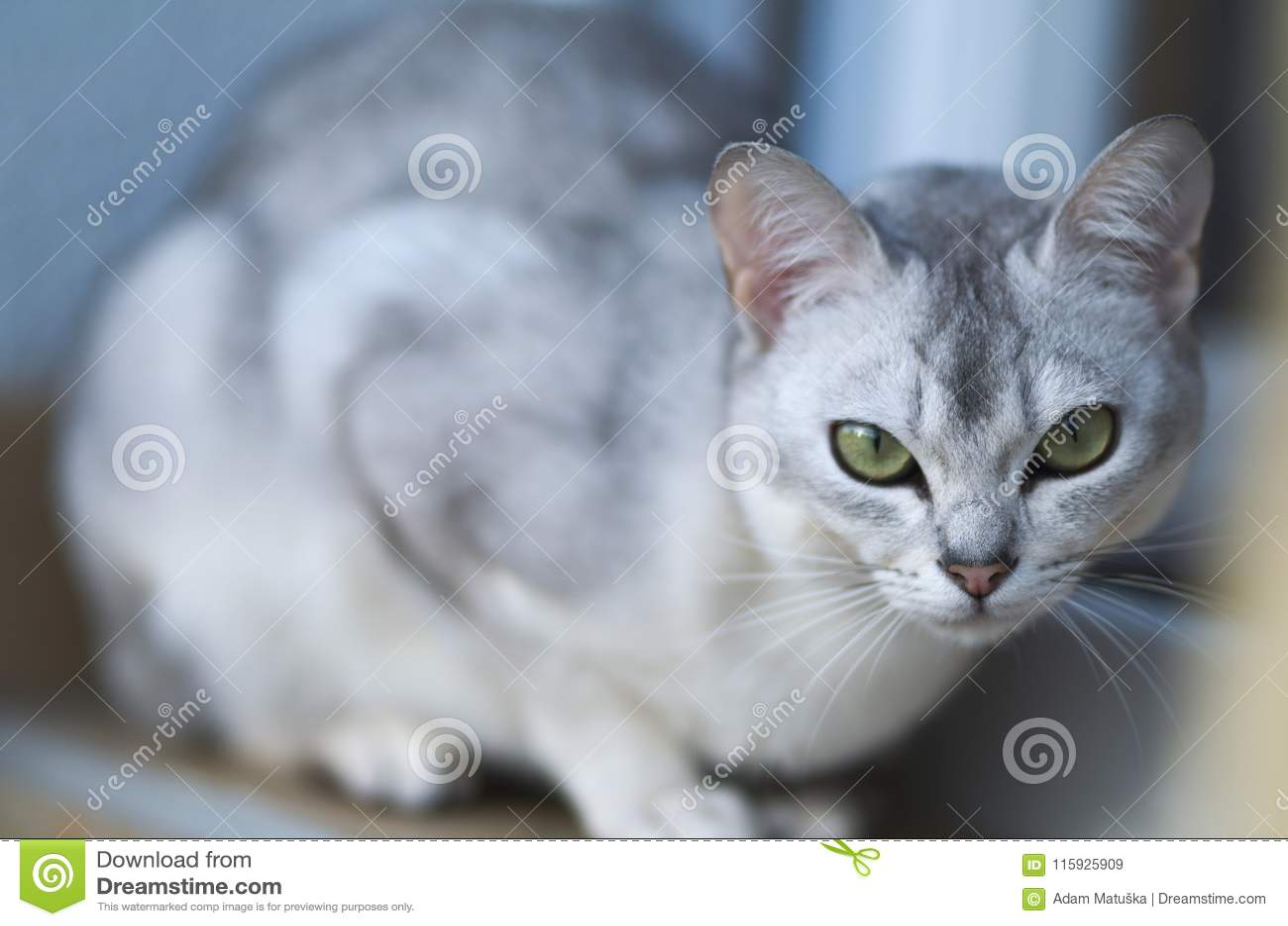 Burmilla金黄猫惊人的画象