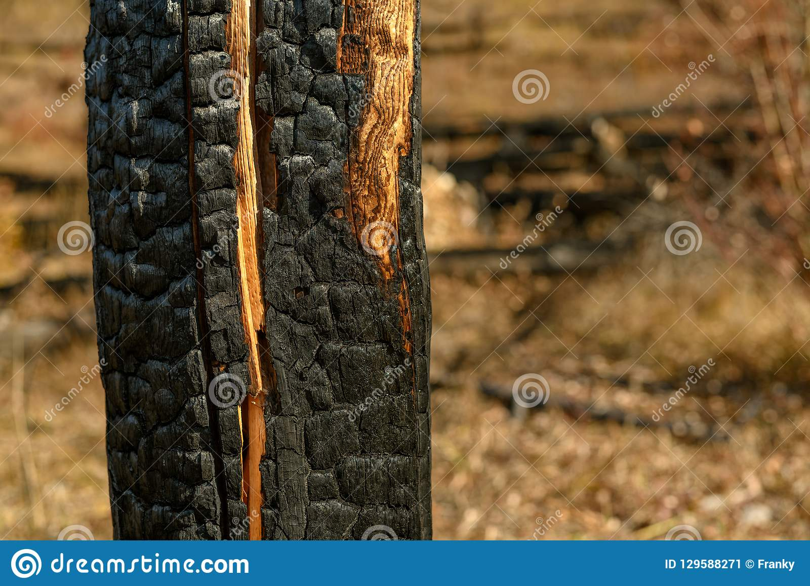 Burnt trees on mountain after wildfire