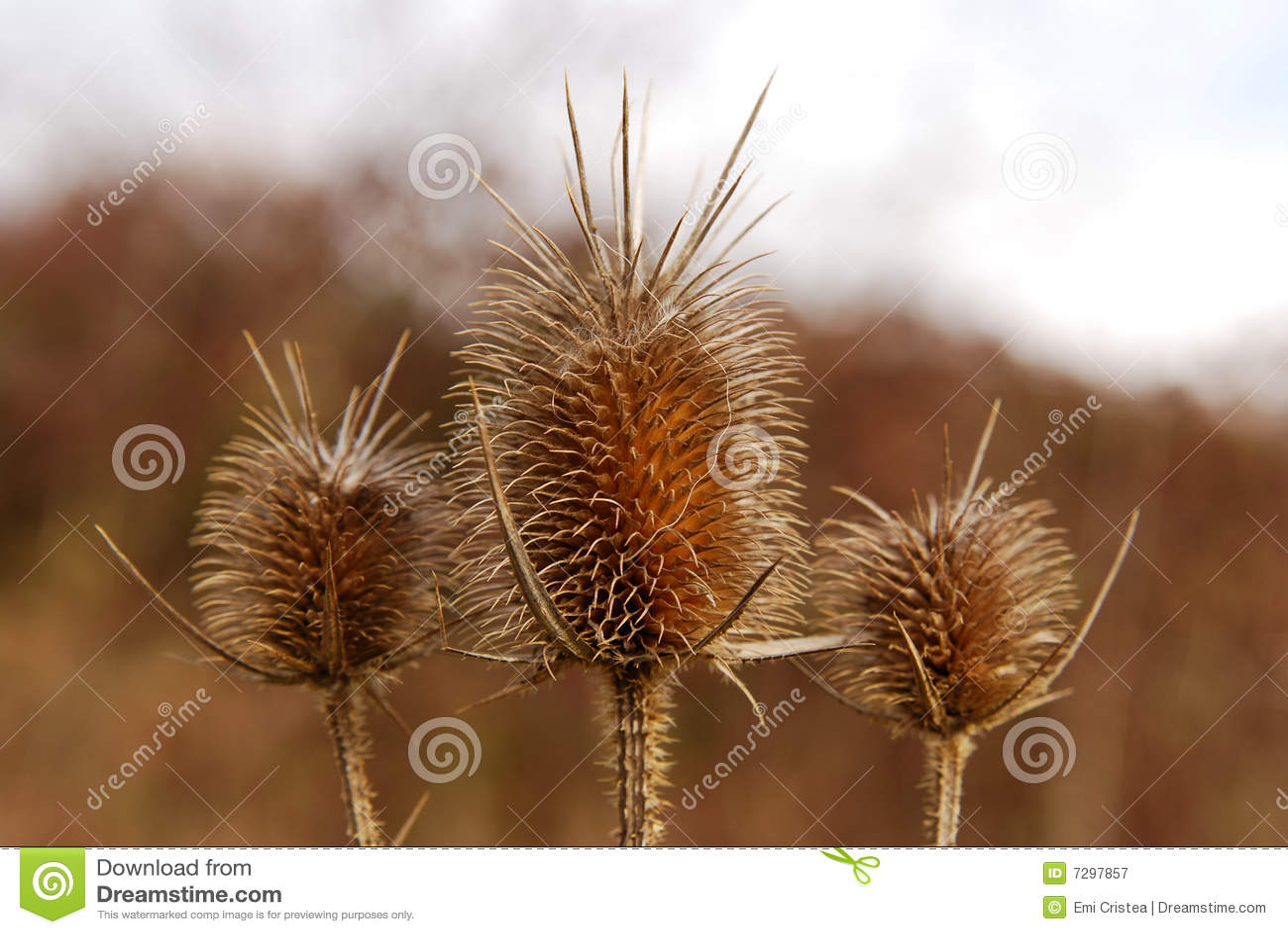 Burr of Teasel Comb (Dispacus sylvestris)