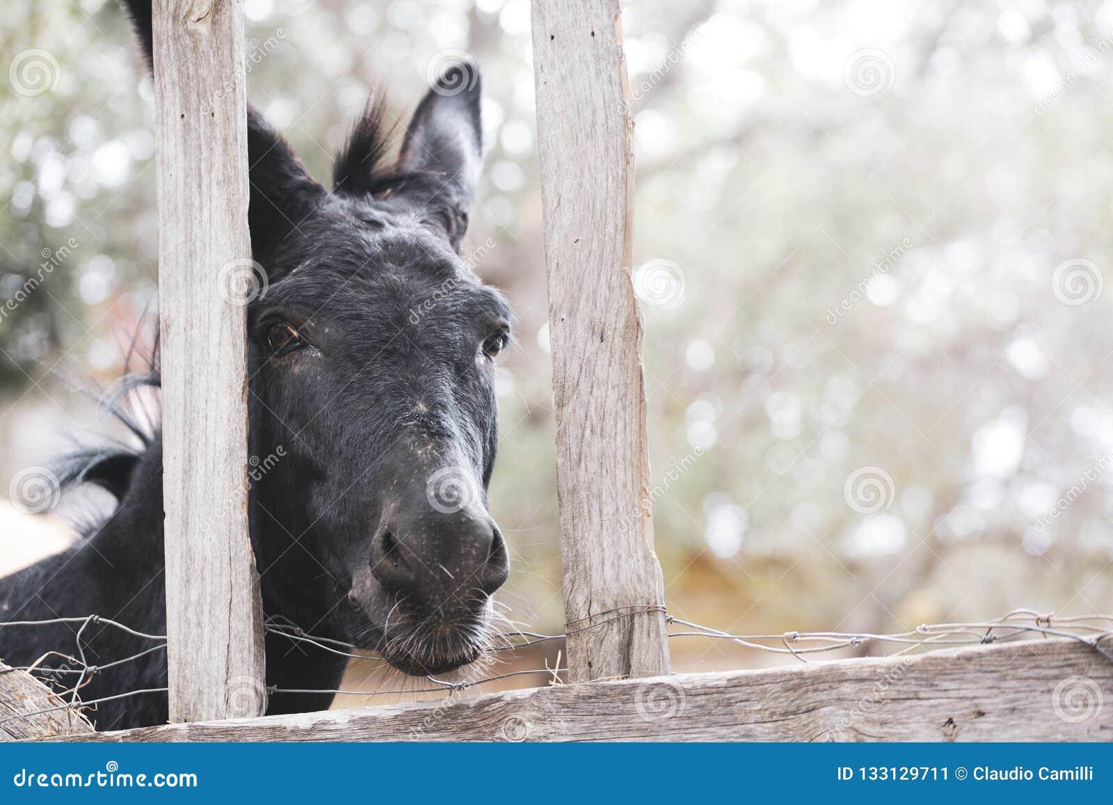 Burro negro detrás de una cerca