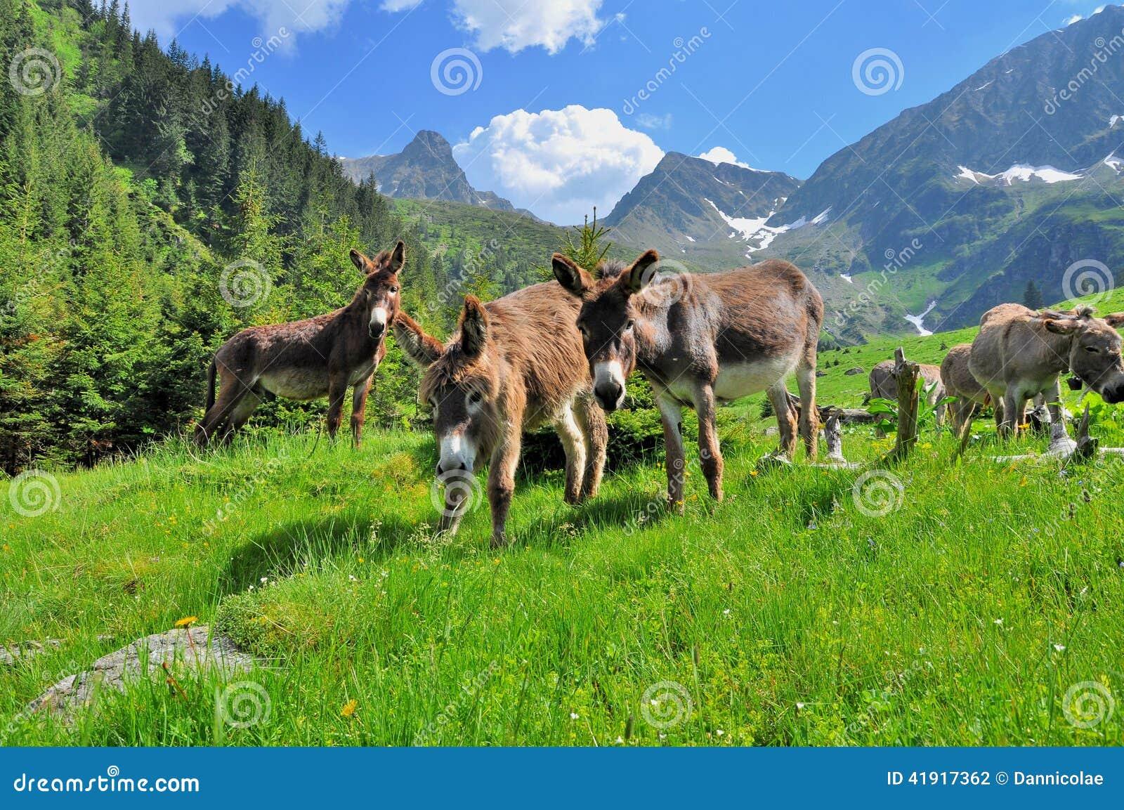 Burros en las altas montañas