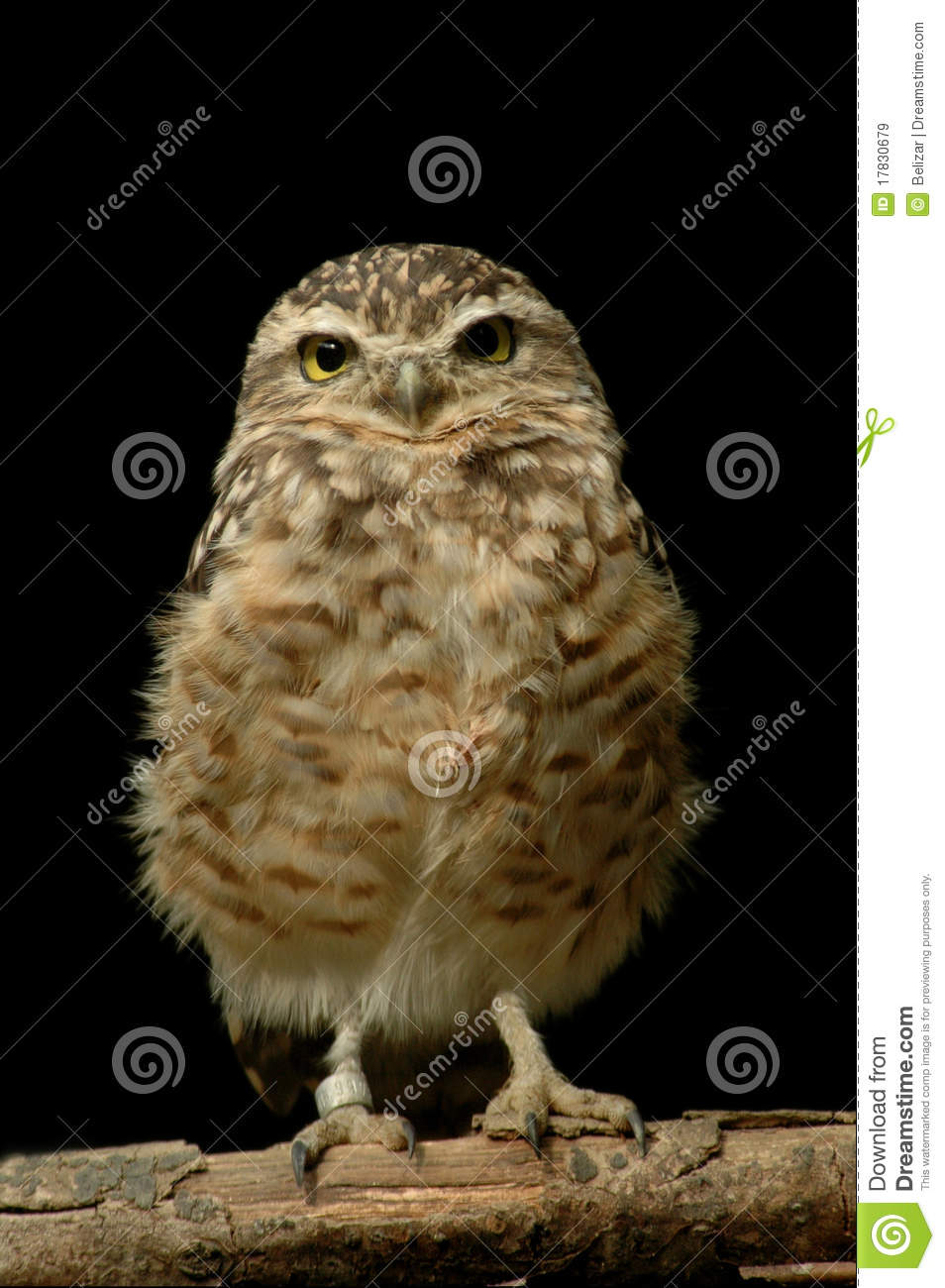 Burrowing Owl (Athene cunicularia) isolated