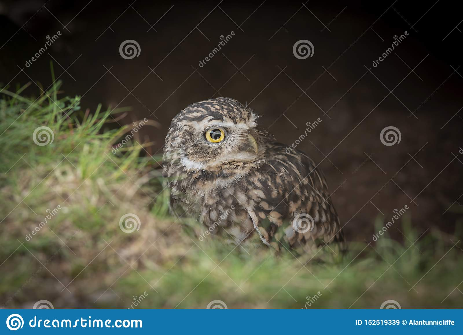 Burrowing owl emerging from ground