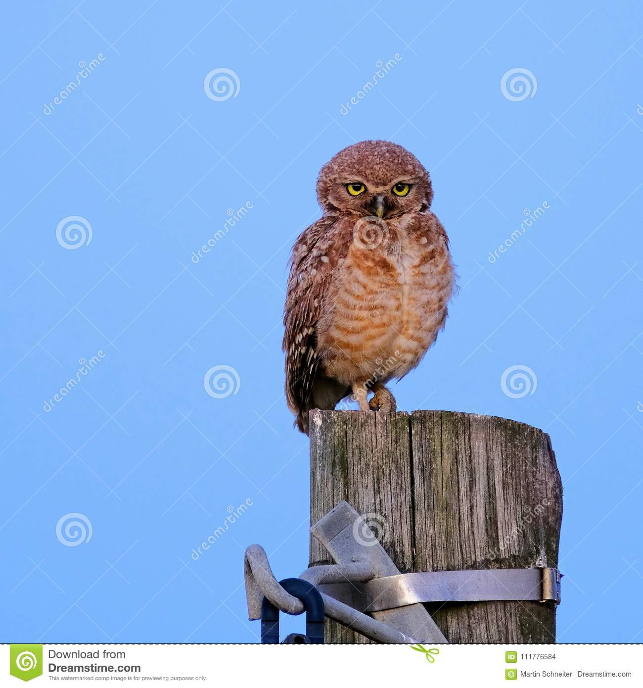 Burrowing Owl with yellow eyes, Athene Cunicularia, standing on a pole, Uruguay, South America