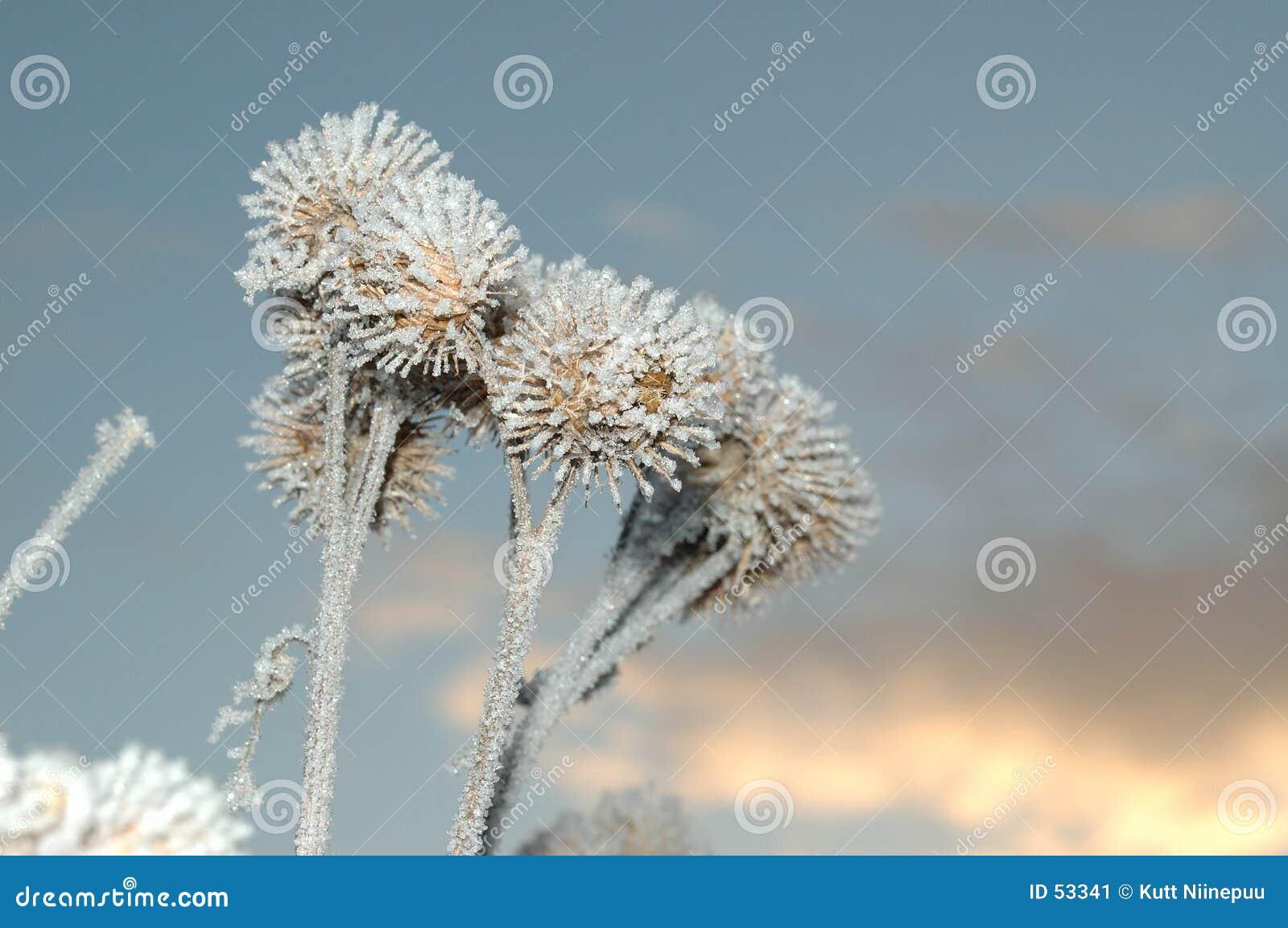 Download Burs gelés de burdock image stock. Image du nature, hiver - 53341
