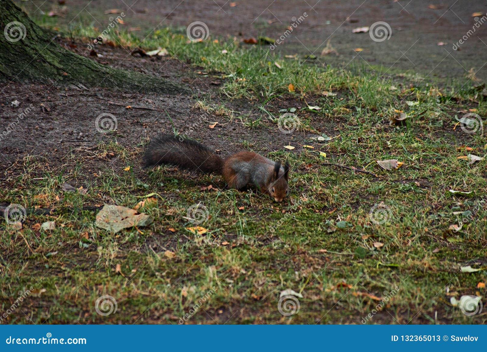 Buscas do esquilo na terra