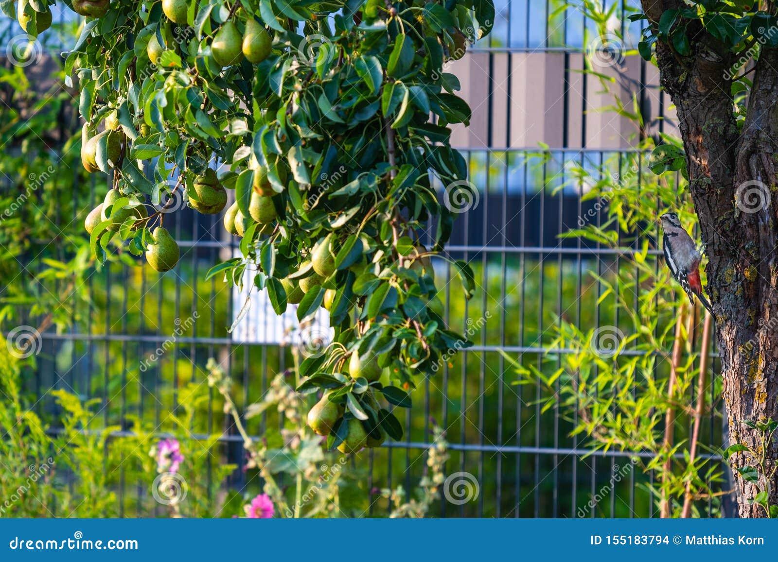 Buscas do pica-pau para o alimento em uma árvore de pera