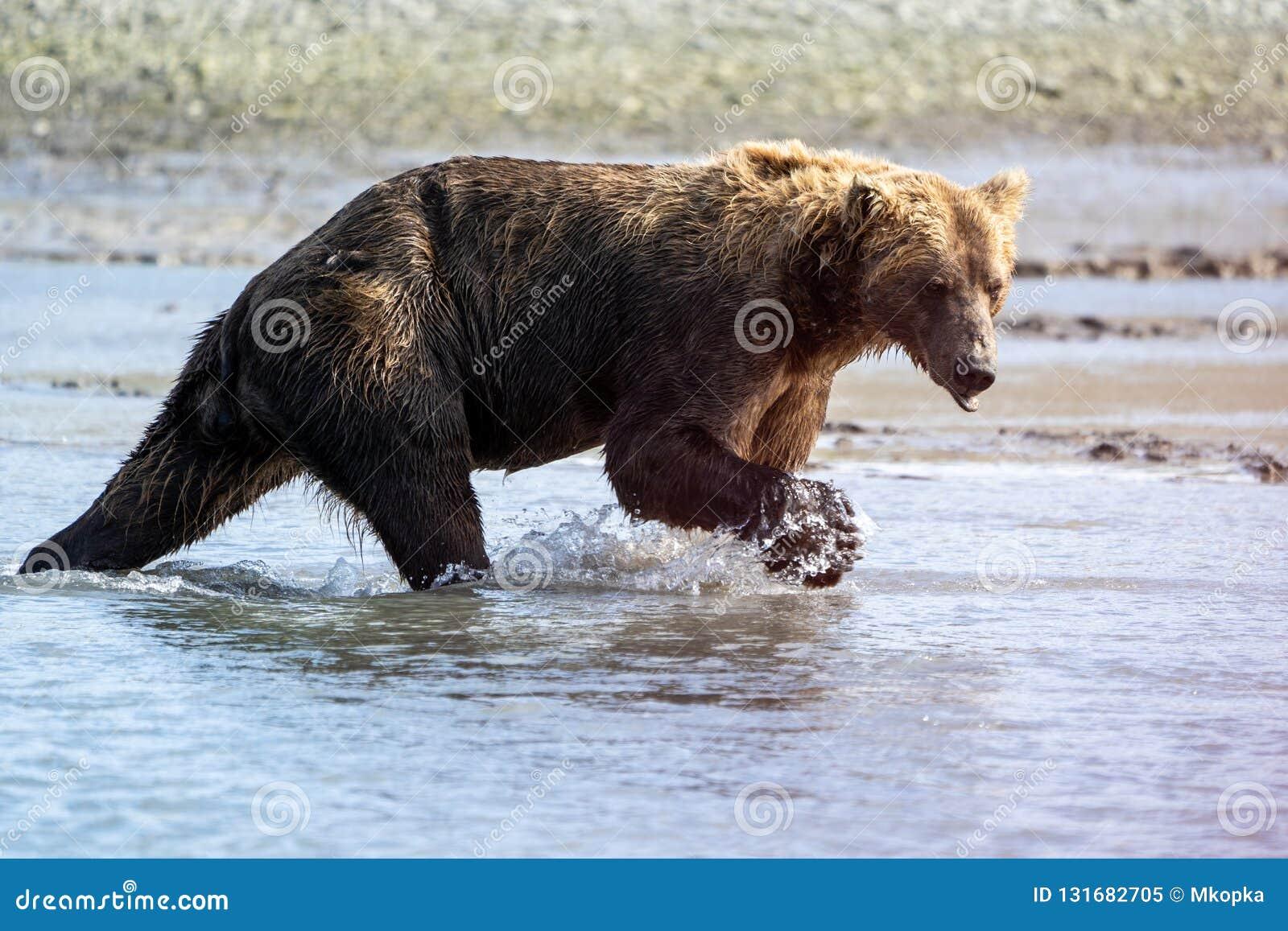 Buscas litorais do Alasca do urso do urso de Brown para peixes em um rio no parque nacional de Katmai, sentando-se em um sandbar
