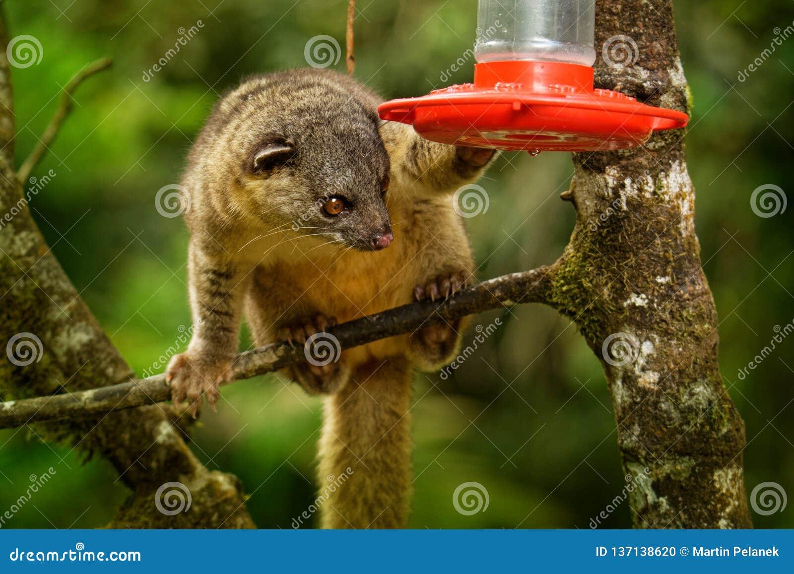 Buschig-angebundenes gabbii Olingo - Bassaricyon alias das Nord-olingo, das von der Kolibrizufuhr trinkt