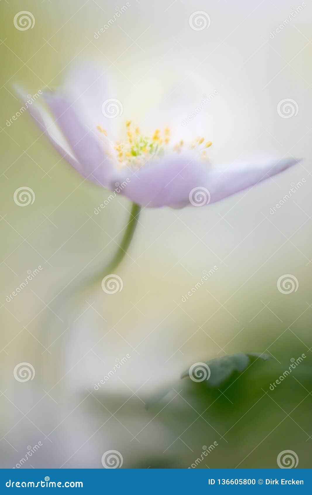 Buschwindröschen eine wilde Blume des empfindlichen Frühlinges