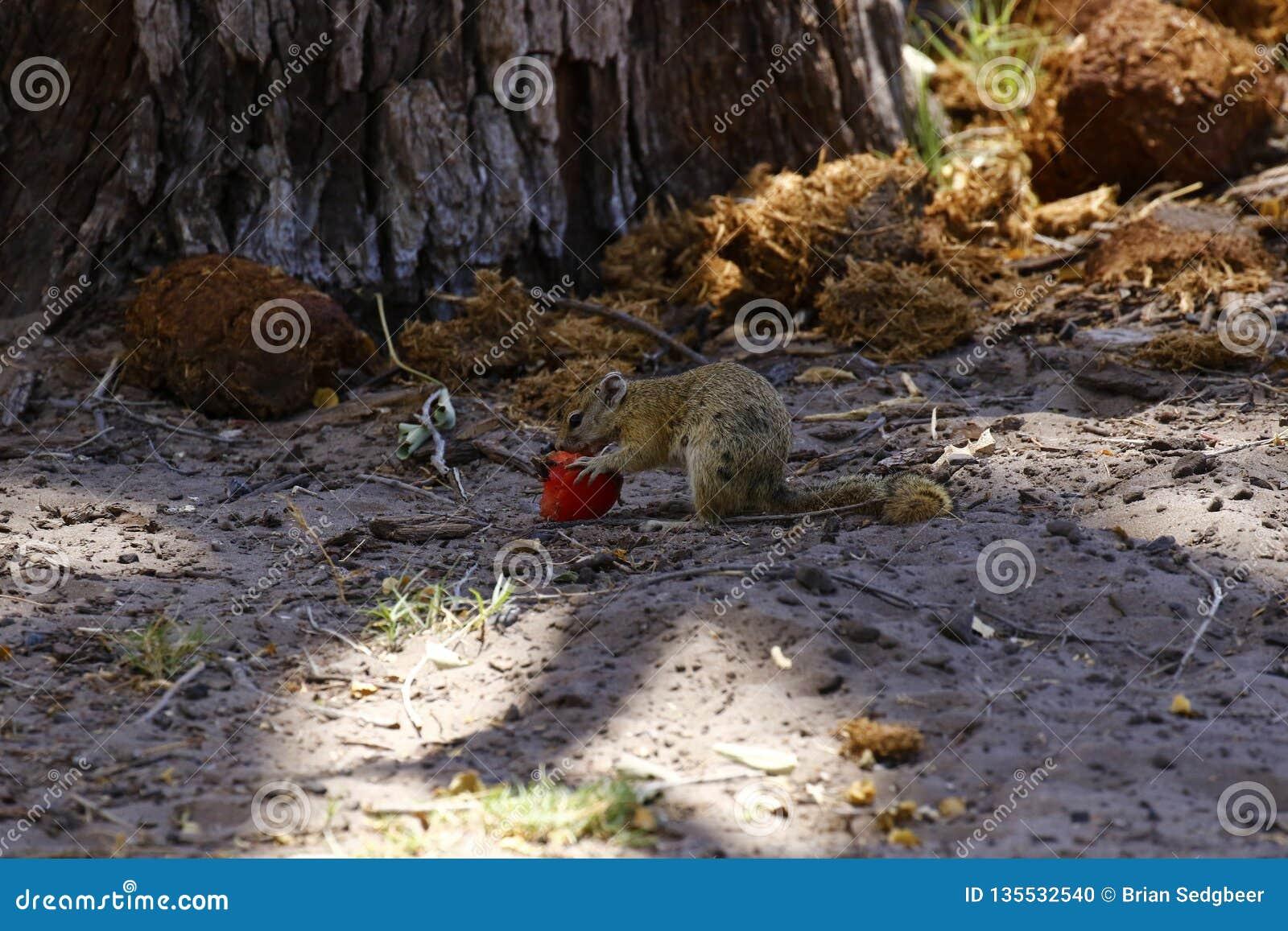 Bush accumulent manger du fruit au sol