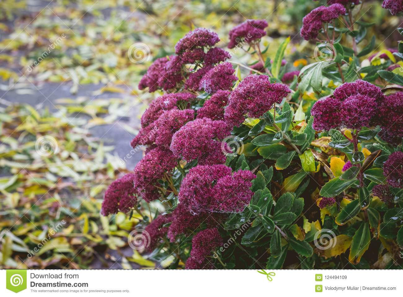 A Bush Of Autumn Flowers On The Background Of Fallen Leaves Stock