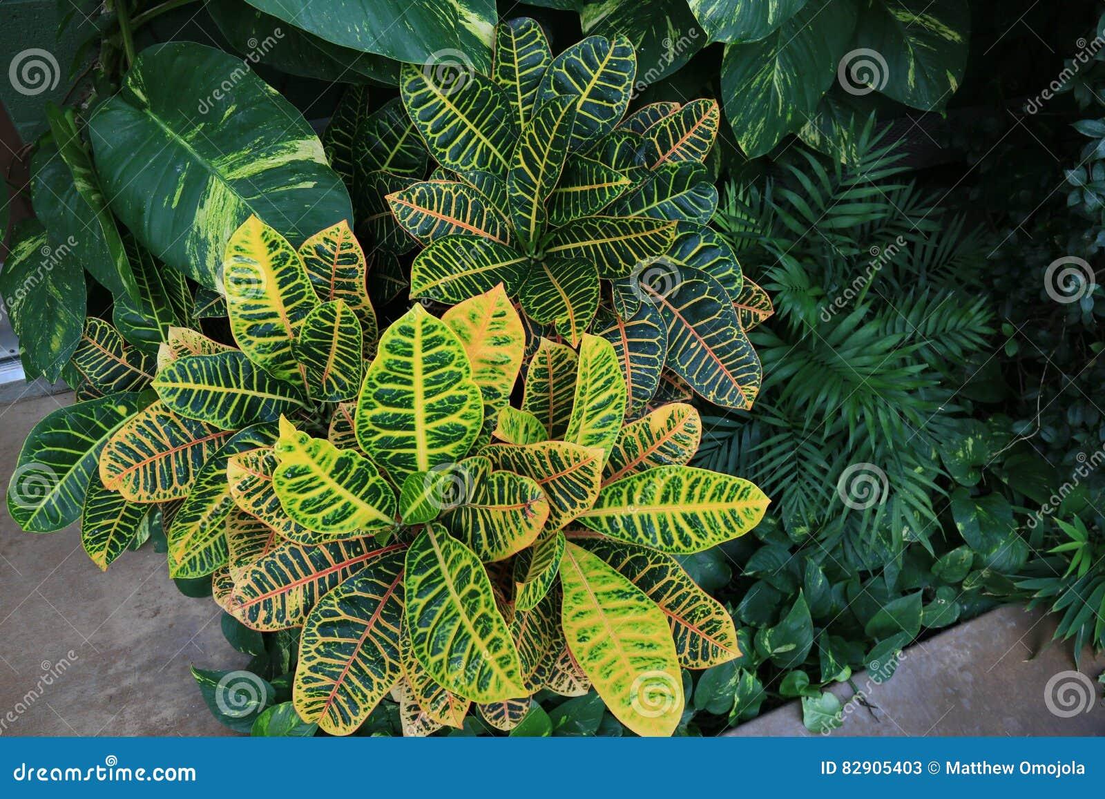 Bush av Crotons, pothosen och dekorativt gömma i handflatan