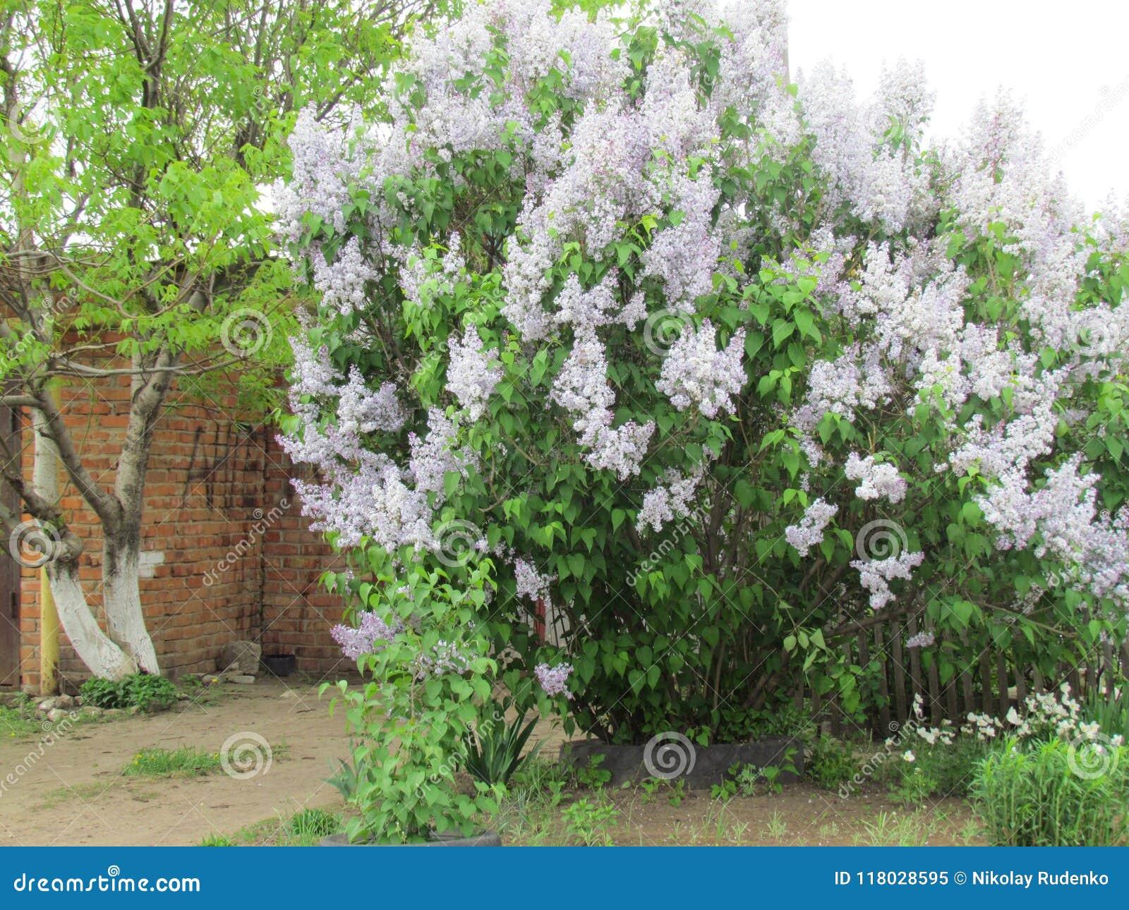 Bush av lilan
