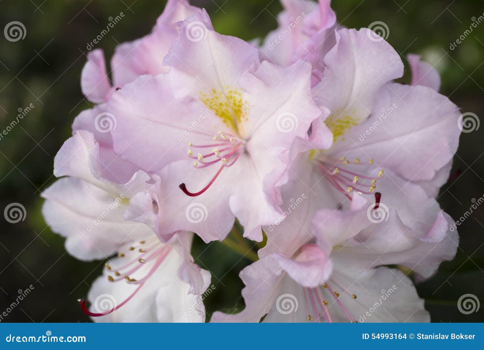 Bush av steg blommor