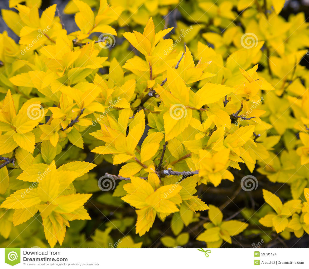 bush avec les feuilles jaunes photo stock image du jaune floral 53781124. Black Bedroom Furniture Sets. Home Design Ideas