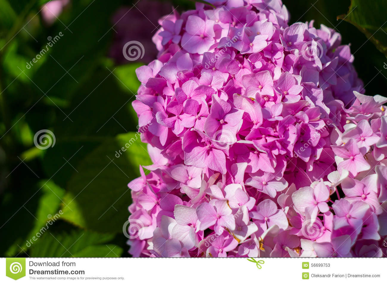Bush Blooming Pink Flowers Stock Image Image Of Leaf 56699753