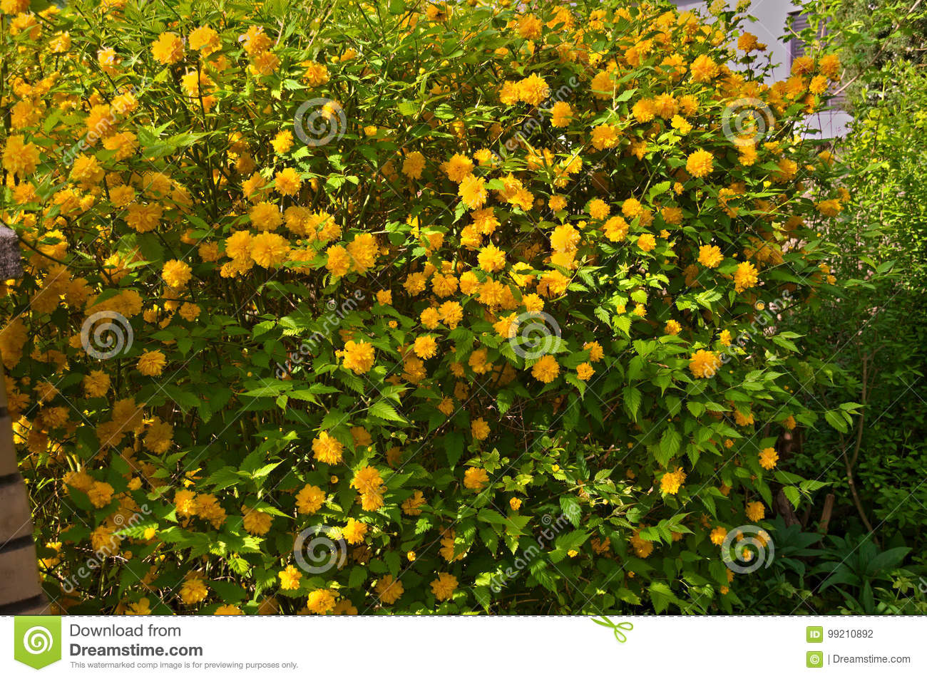 Bush blooming with yellow flowers stock photo image of leaf bush blooming with yellow flowers at spring time mightylinksfo