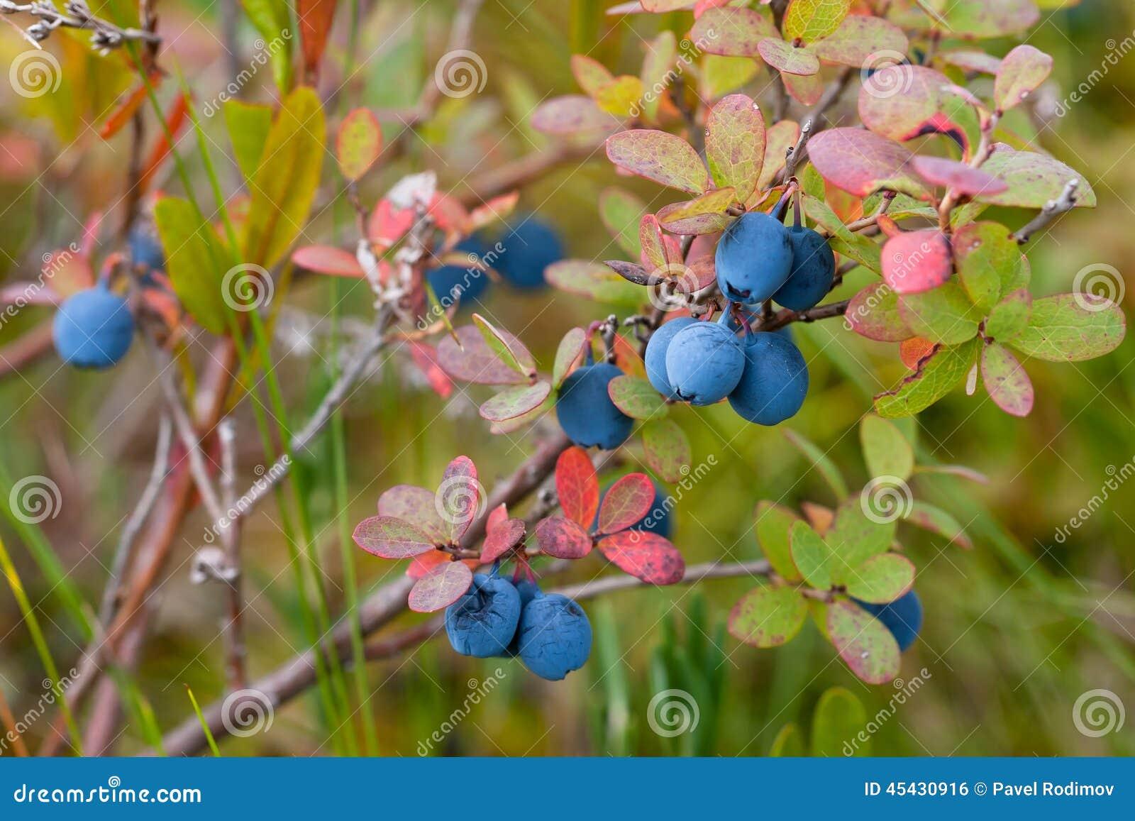 Bush of bog bilberry