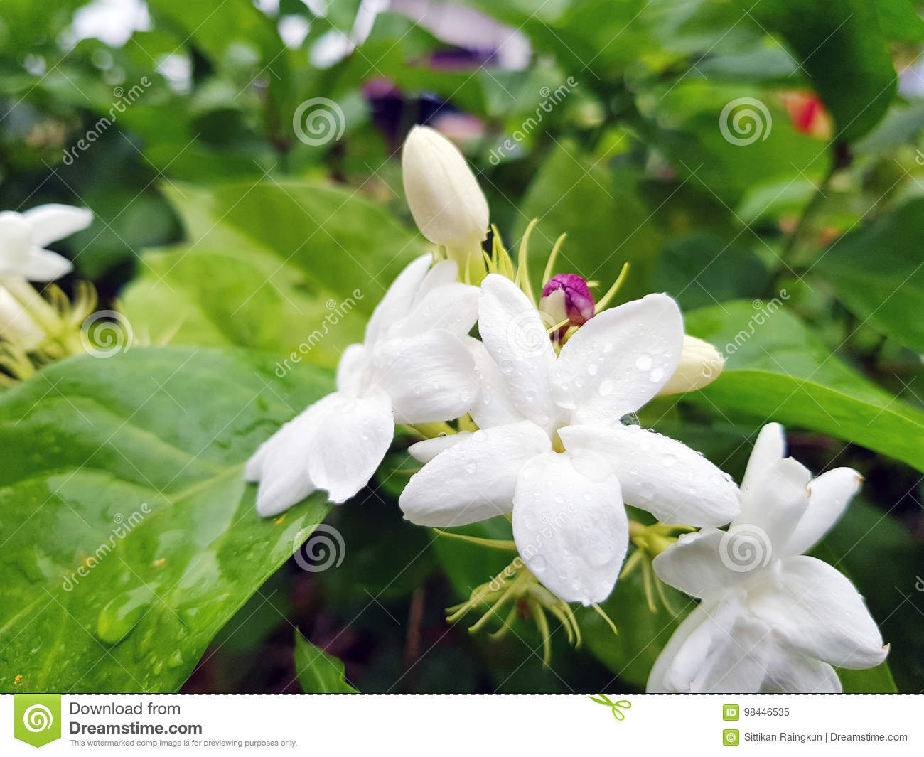 Bush Branch With White Flowers Of Jasmine Stock Image Image Of