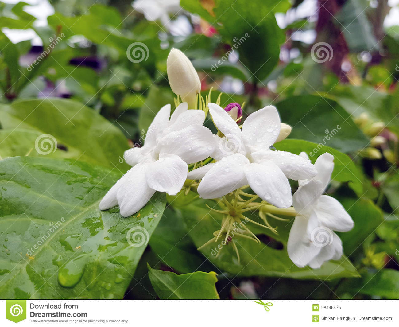 Bush branch with white flowers of jasmine stock image image of bush branch with white flowers of jasminewhite aroma flowers of jasminemother x27s day concept izmirmasajfo