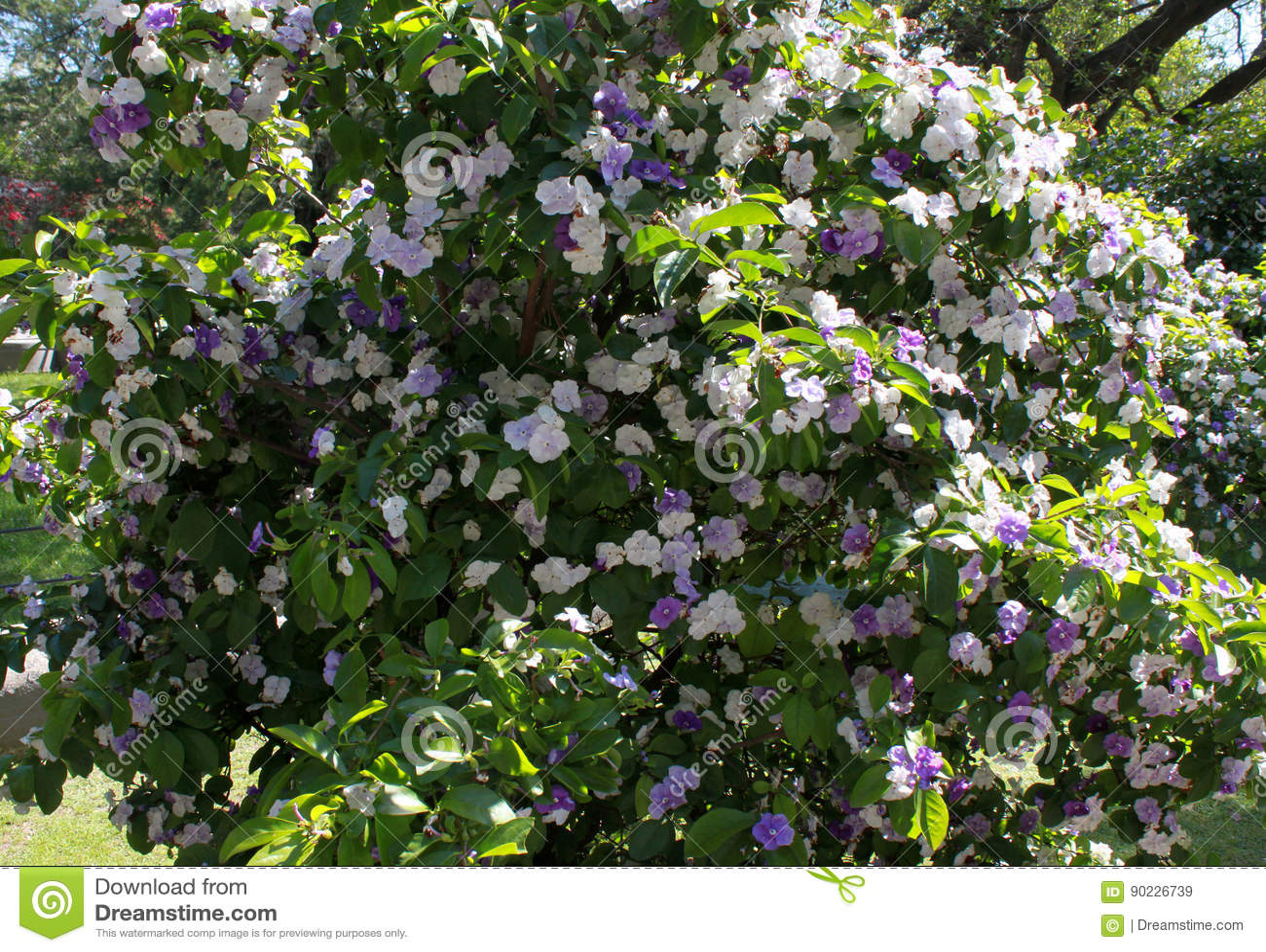 Fiori Bianchi Viola.Bush Con I Fiori Bianchi E Viola Di Brunfelsia Sulle Foglie Verdi