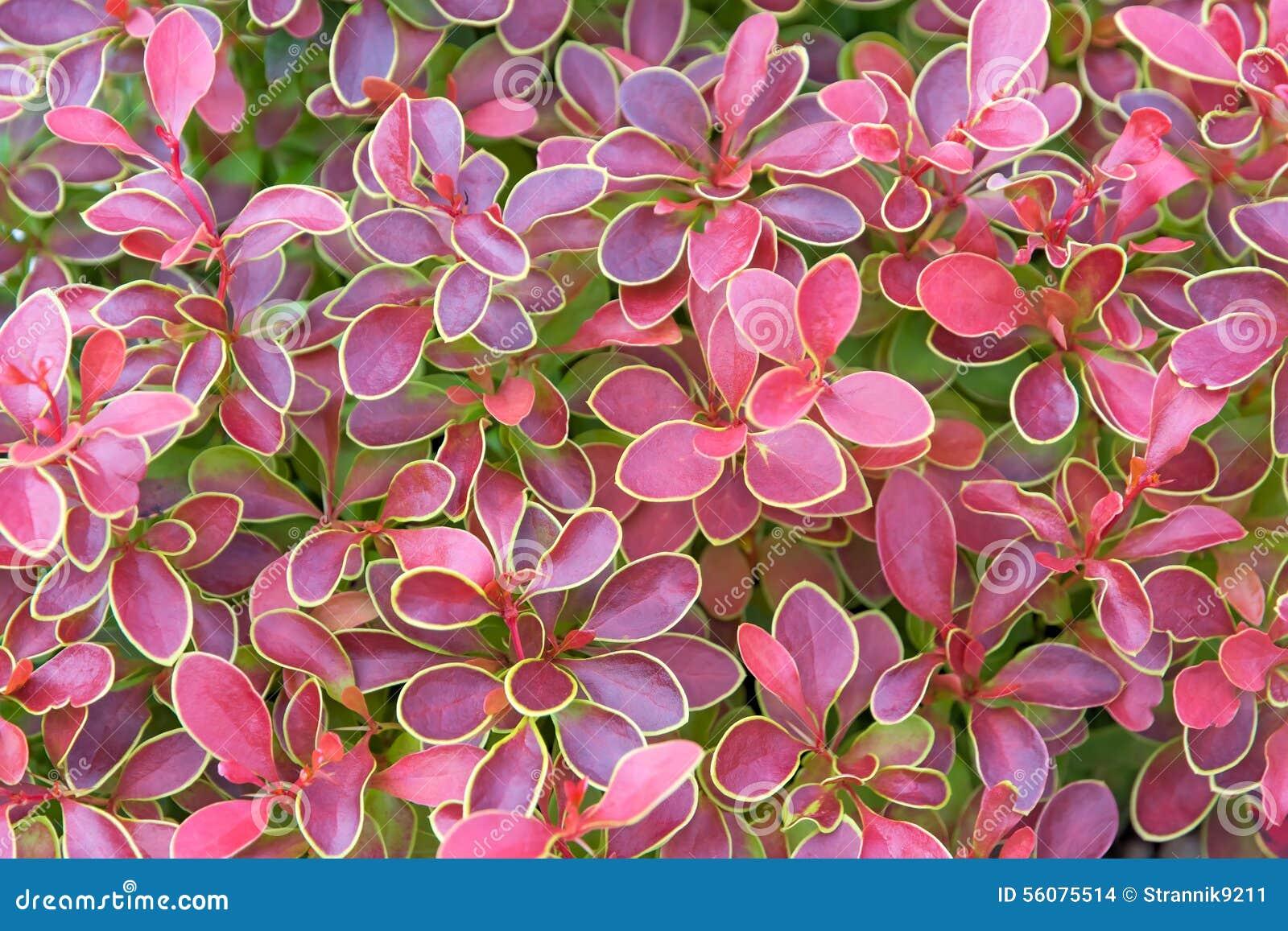 Bush con le foglie rosse fotografia stock immagine di for Pianta con foglie rosse