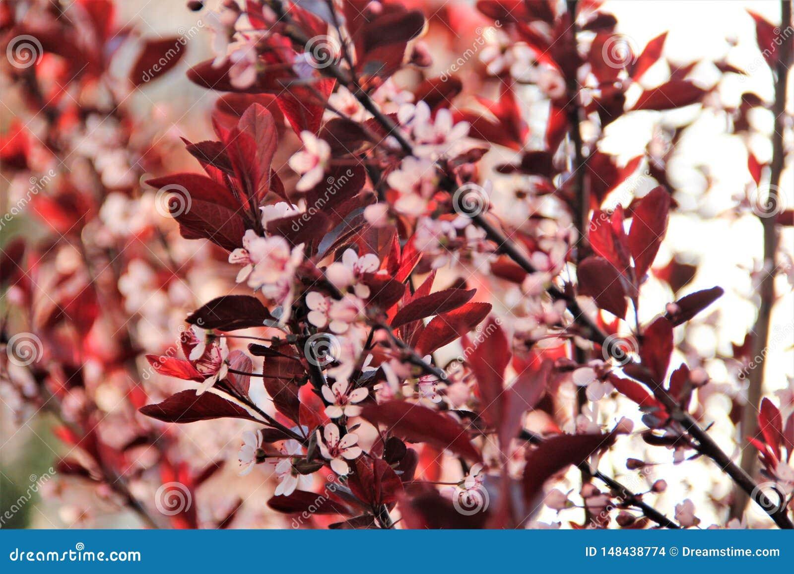 Bush con le foglie rosse ed i fiori rosa