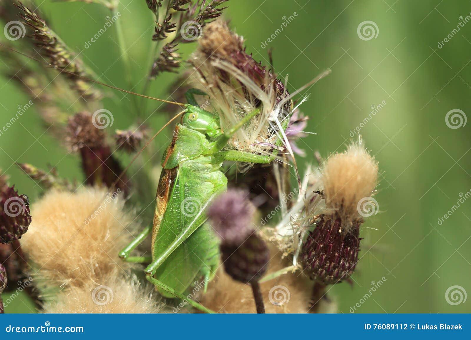 Bush-Cricket vert grand
