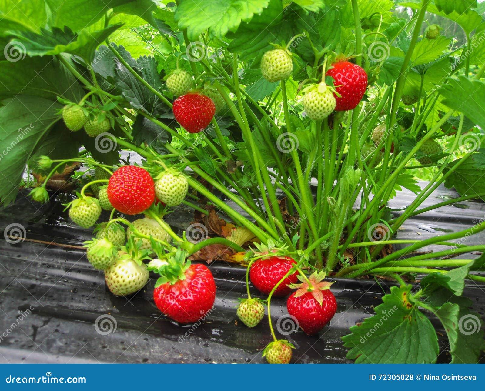 Bush da morango com berrie vermelho