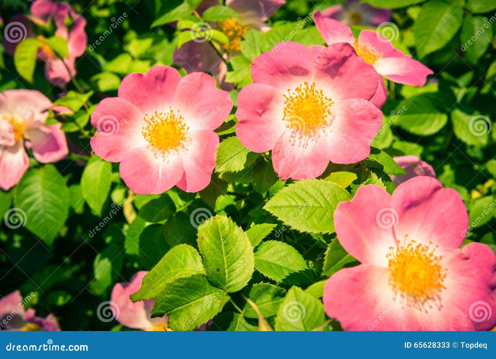 Bush de belles chien-roses roses dans un jardin