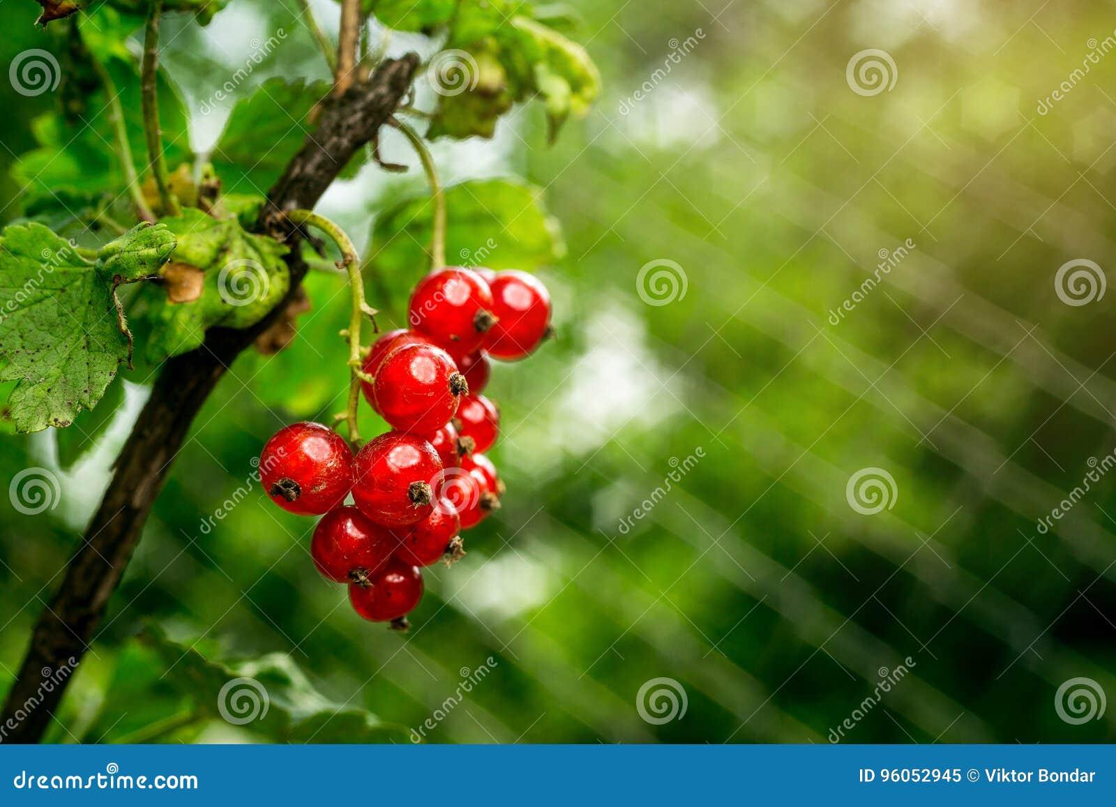 Bush de groseille rouge s élevant dans un jardin Fond de curran rouge