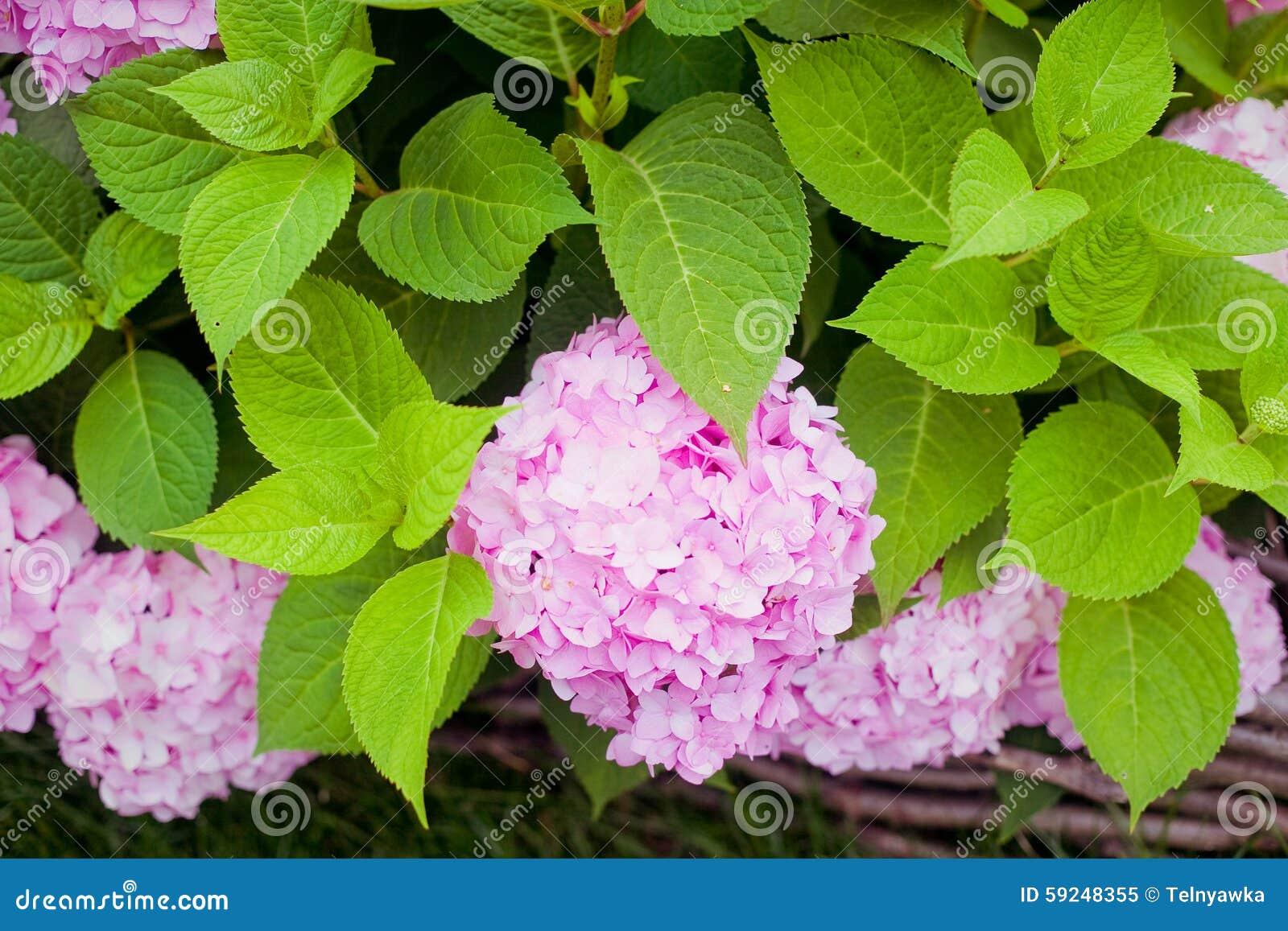 Bush de la hortensia rosada de la flor que florece en el jardín